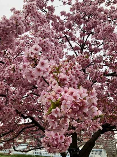 箱根町用写真オカメザクラ